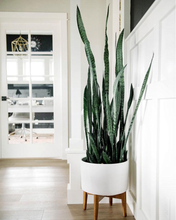 stueplante trend slange plante