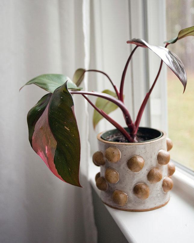 potteplante trend lyserød plante