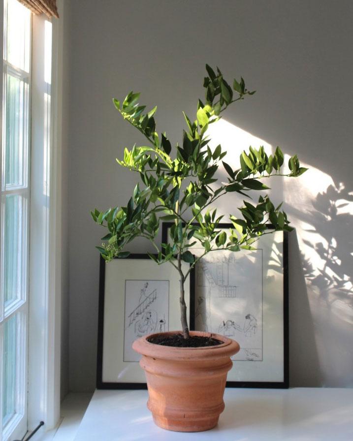 potteplante trend citrus træ